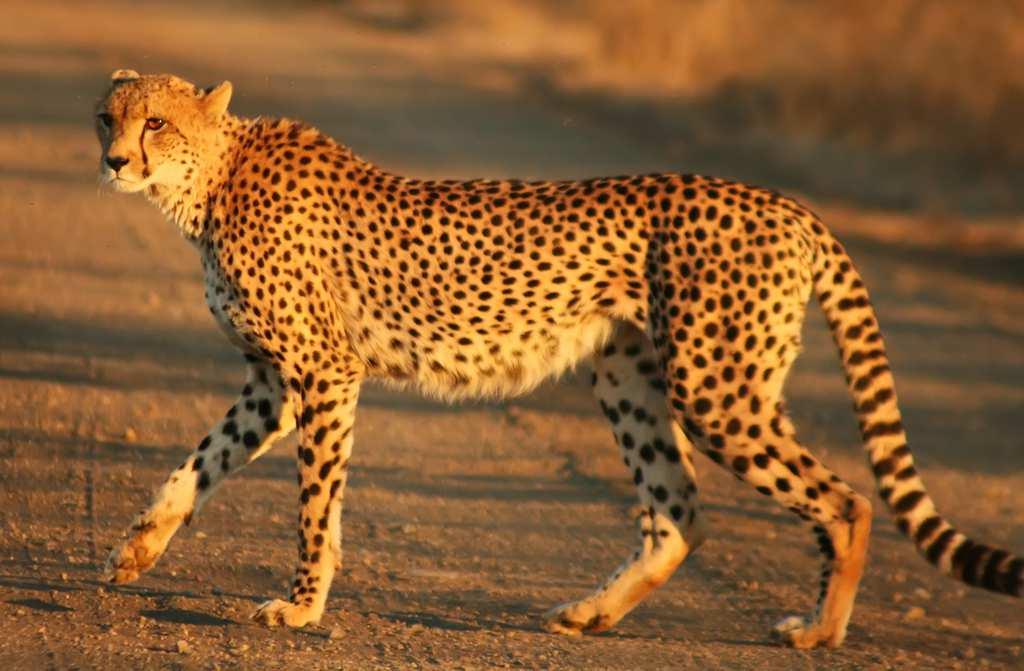 Cheetah_Kruger