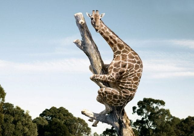 Giraffe-in-Tree
