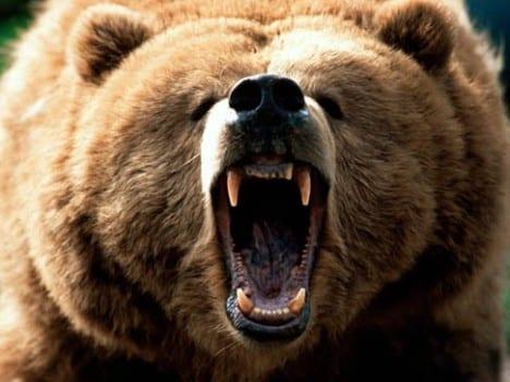 Bear-Jaws