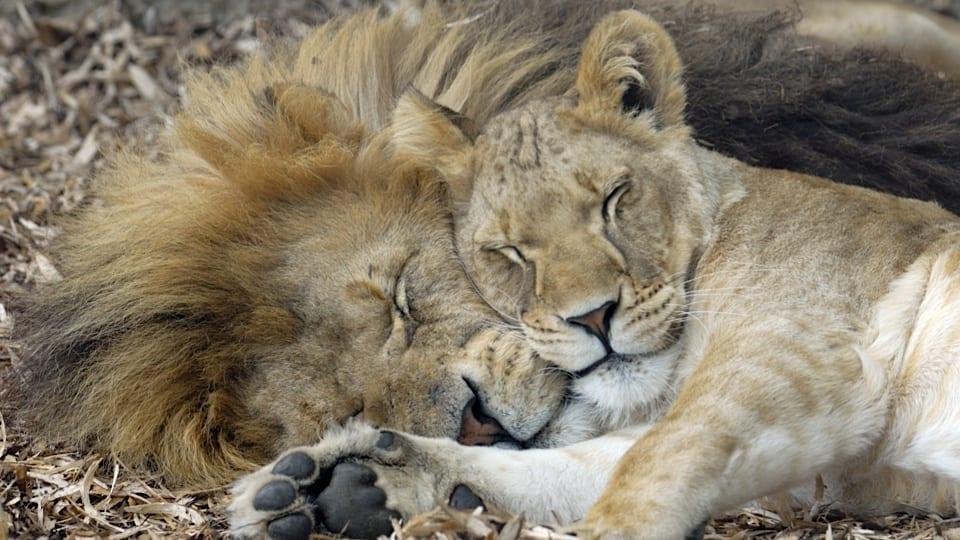 Lions-cuddle