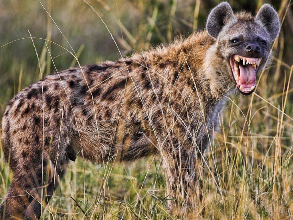 hyena-017-1024x769