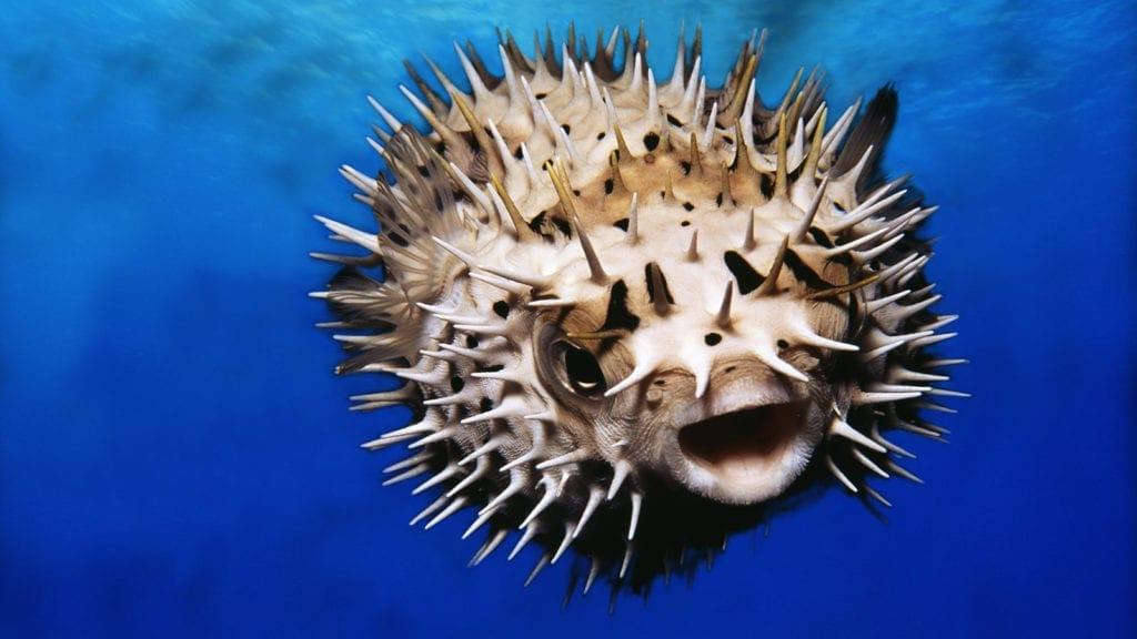 Pufferfish, underwater view
