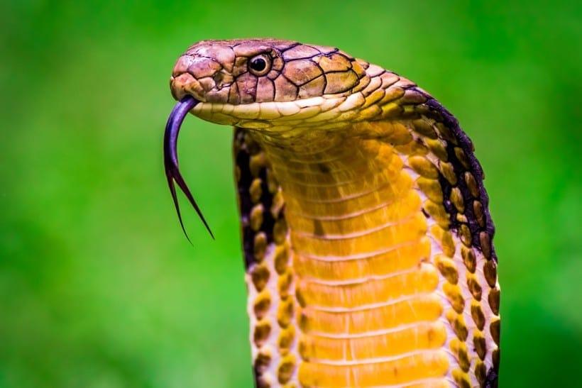 king-cobra-flicks-tongue-820x547