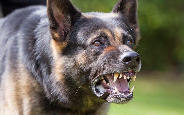 dangerous-dog_2113544a