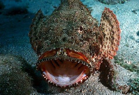 Stone fish.