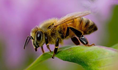 africanized-honey-bee