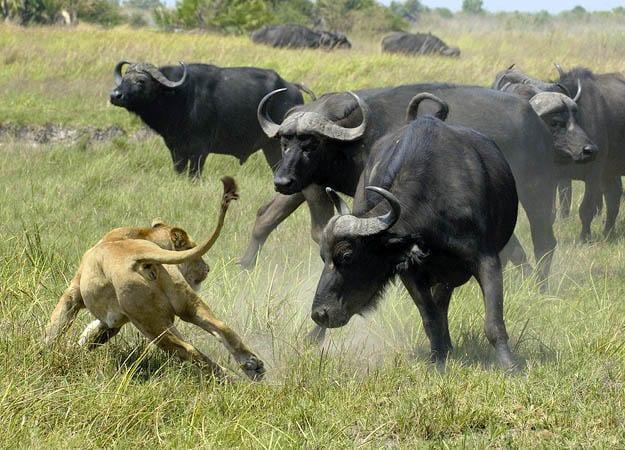cape-buffalo-08