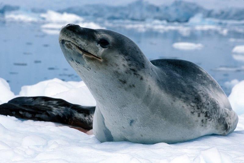 leopard-seal-1-lg-1