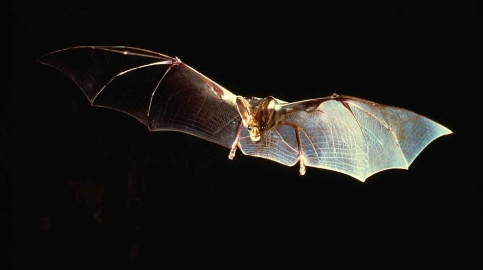 vampire-bat-flying-wings.jpg.adapt.945.1