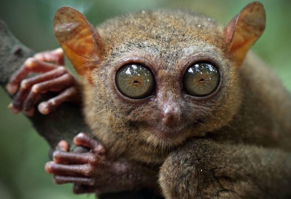 tarsier-4