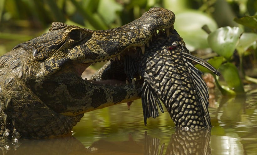 spectacled-caiman-catching-fish-820x496