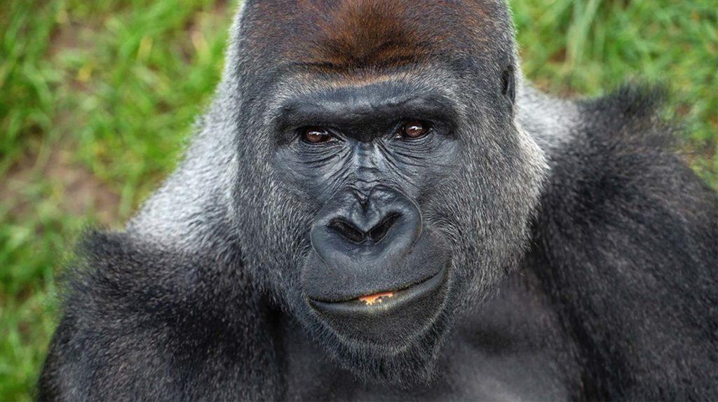 Gorilla_ZN
