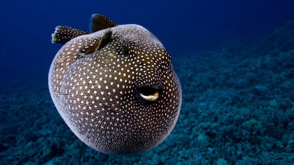 pufferfish-inflated-closeup.jpg.adapt.945.1