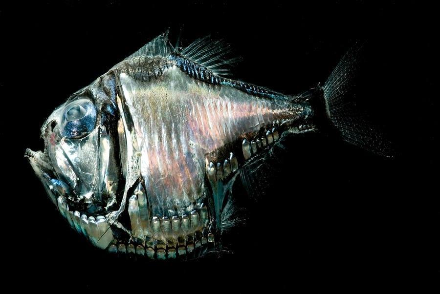 strange sea creatures - Giant Hatchetfish