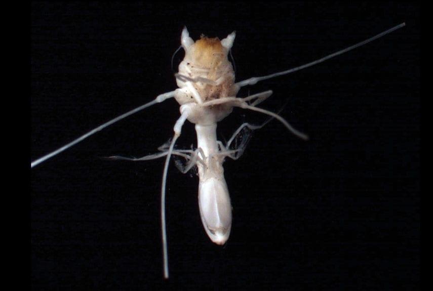 strange sea creatures - Munnopsis Isopod
