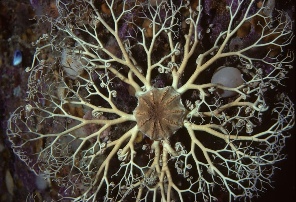 strange sea creatures - basket star