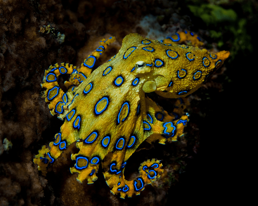 strange sea creatures - blue ringed octopus