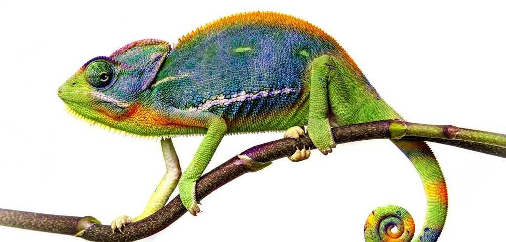 Dangerous Species Chameleon