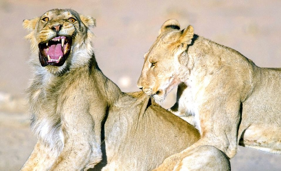 animal-lions