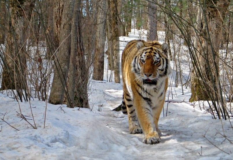 tigress 3