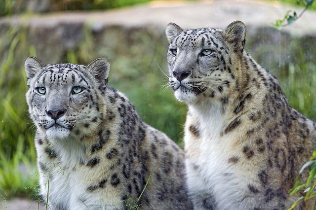 nepal-leopard