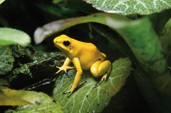 goldendartfrog2-600