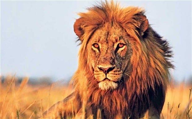 Botswana_Lion_3000865b_vDcbwGA