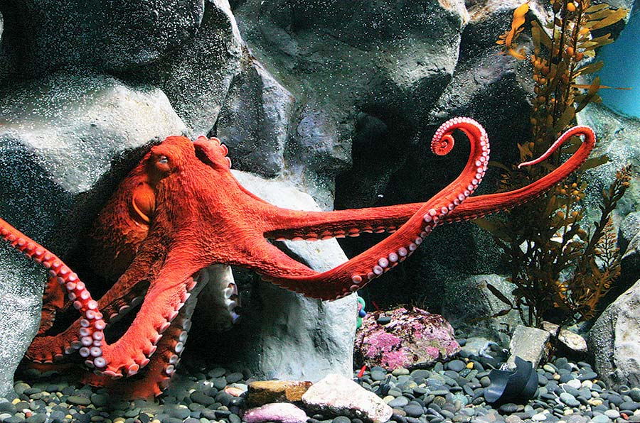 giant-pacific-octopus