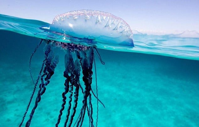 2B7C80EA00000578-3203167-The_Portuguese_man_o_war_is_recognisable_to_having_giant_tentacl-a-3_1439974281828