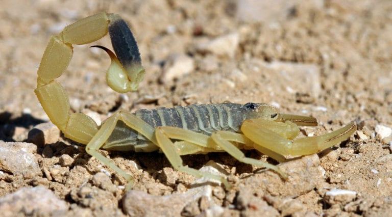 deathstalker-scorpion-e1492946102367-768x426