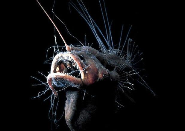 strange sea creatures - Fanfin Seadevil
