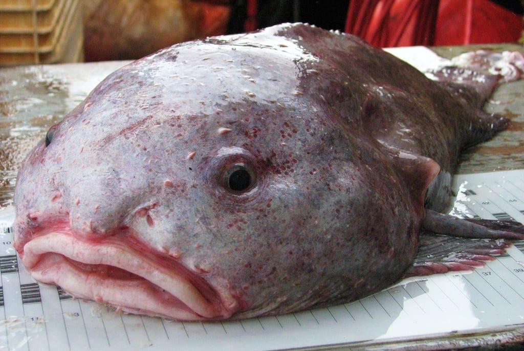 strange sea creatures - Blob Sculpins