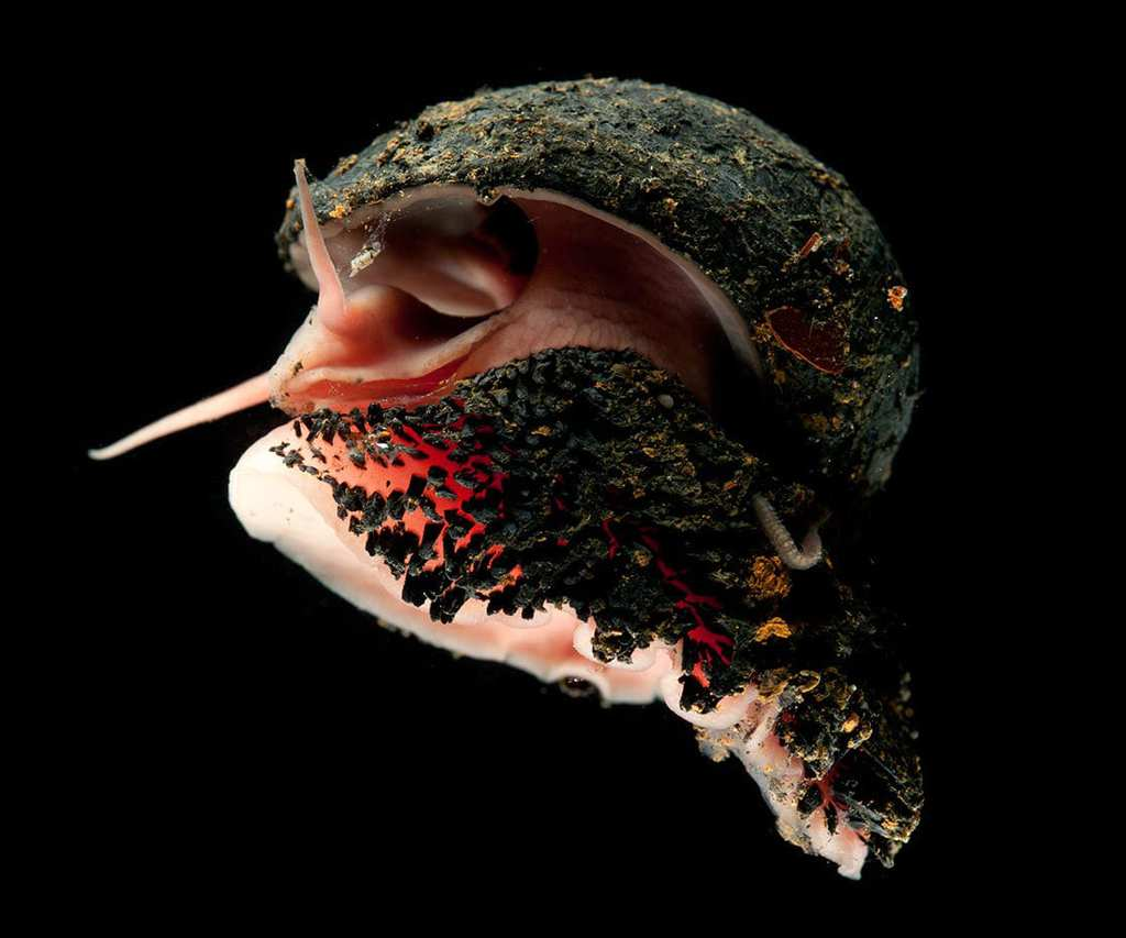 strange sea creatures - Hydrothermal Vent Snail