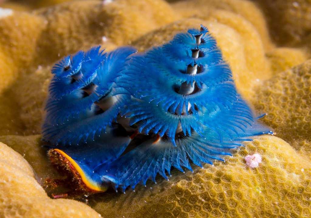 strange sea creatures - Christmas Tree Worm