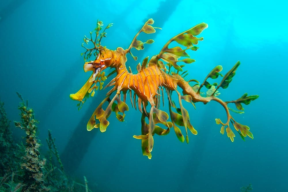 strange sea creatures - Leafy Seadragon