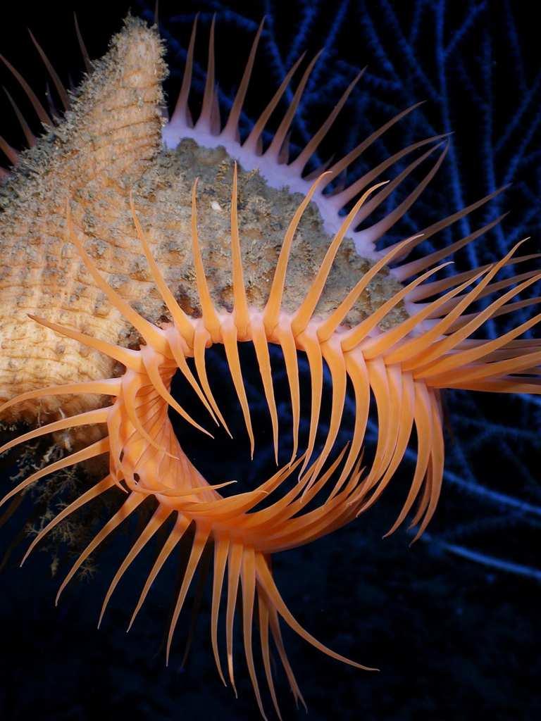strange sea creatures - Venus Flytrap Anemone