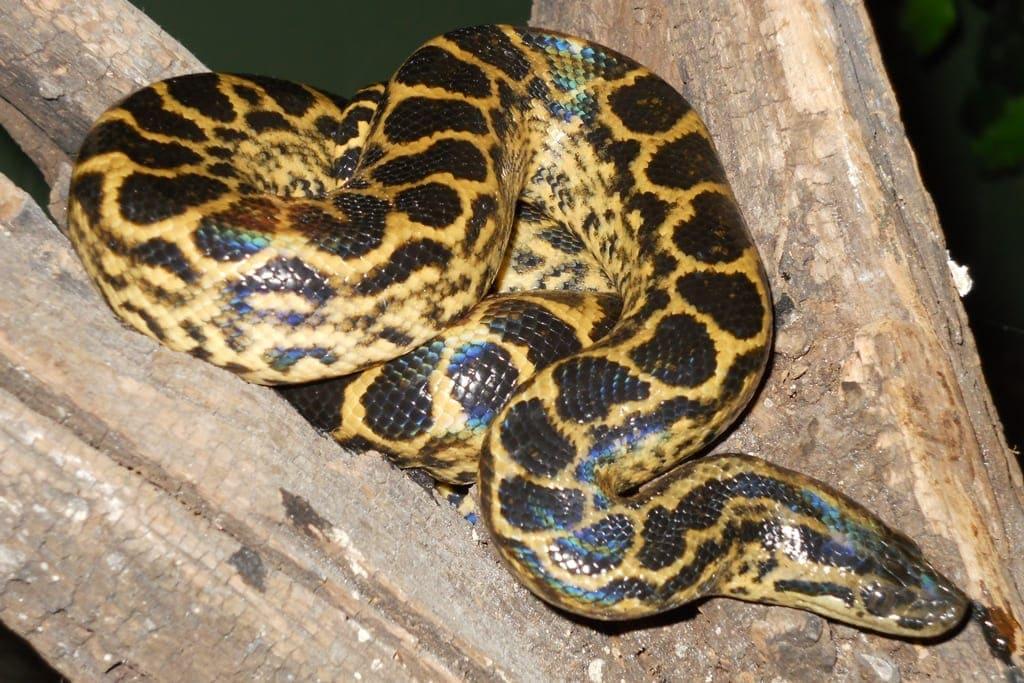 Dangerous Species Yellow Anaconda