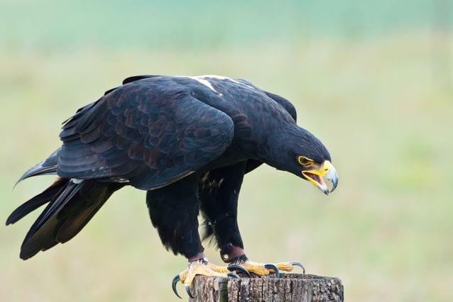 Dangerous Species Black Eagle