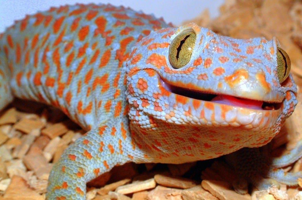 Dangerous Species Tokay Gecko
