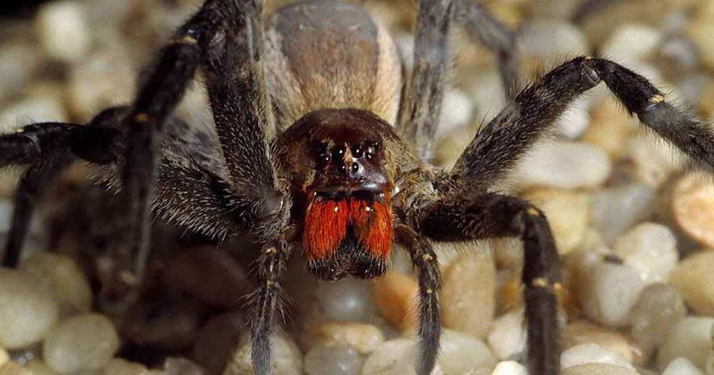 Dangerous Species Brazilian Wandering Spider