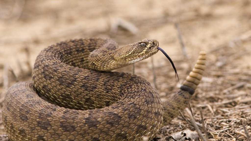 Dangerous Species Rattlesnake