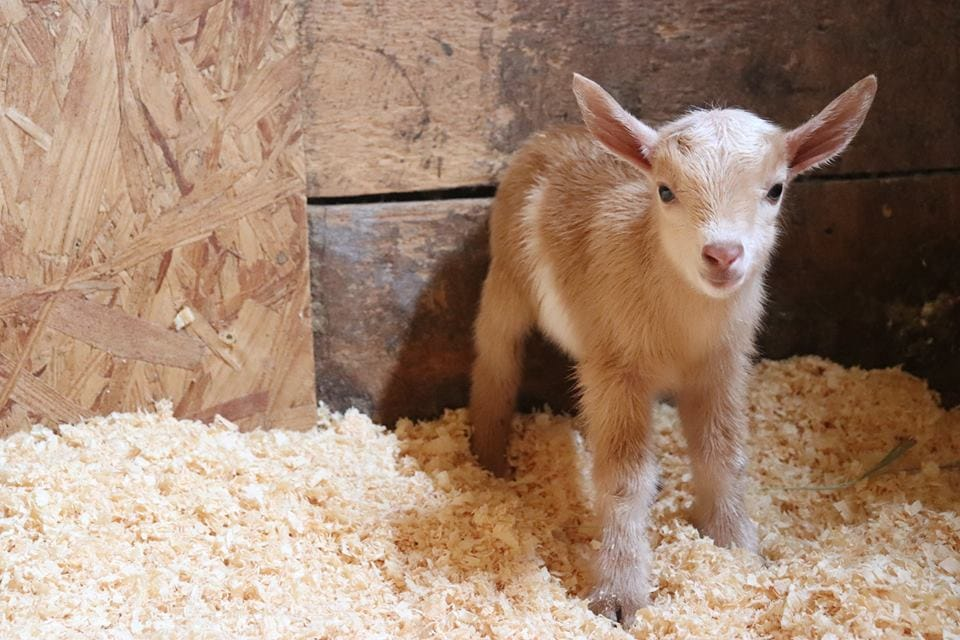 Check Out These Adorable Baby Goats Staying Warm In The
