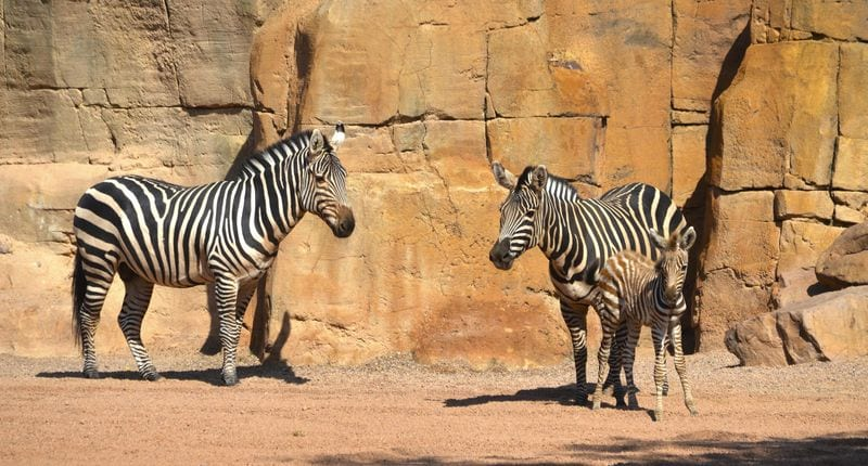 Newborn Zebra Is Saved From Drowning & Mother's Reaction Is