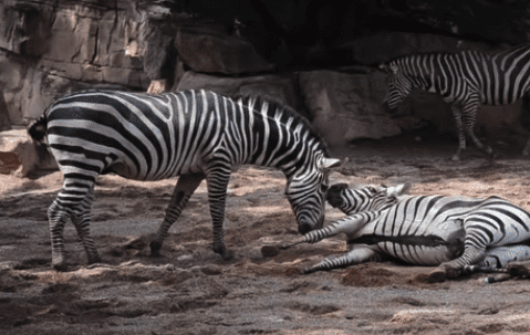 Newborn Zebra Is Saved From Drowning &The Mother's Reaction