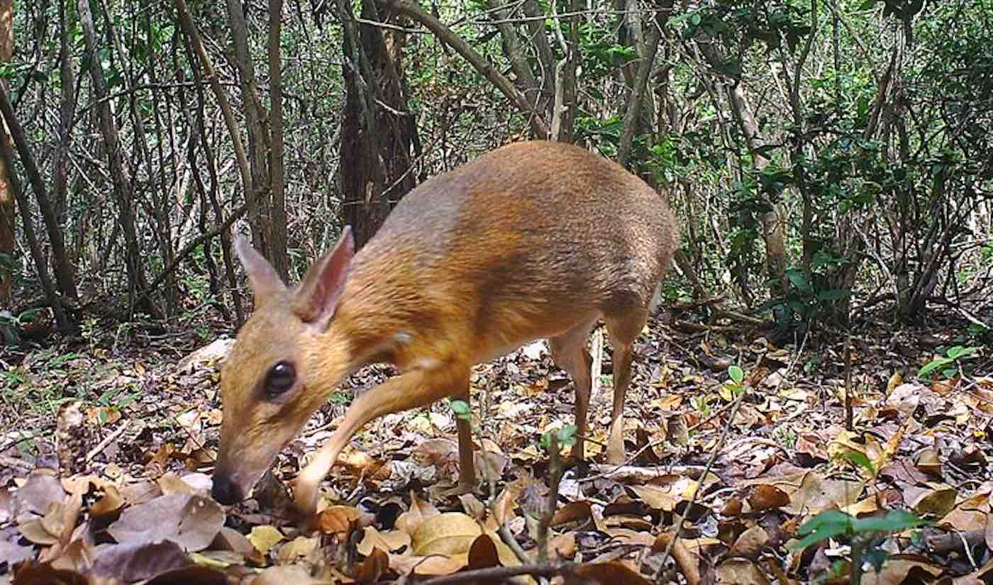 mouse deer - photo #12
