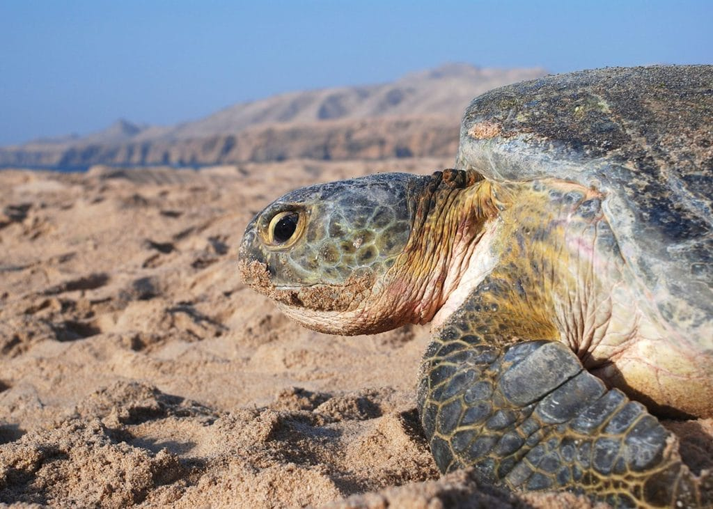 green turtle on the shore