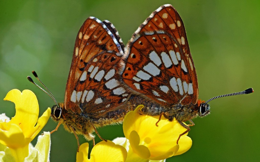 The Two Duke of Burgundy Butterflies