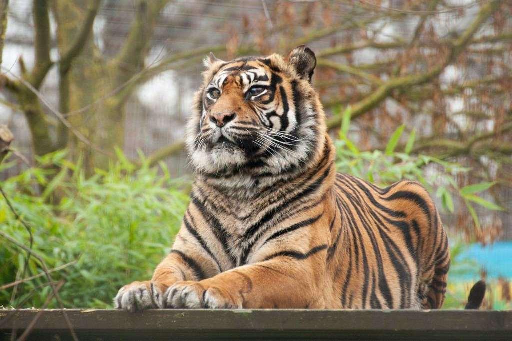 The Sumatran tiger Ratna, before the surgery